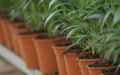 ICL lanza Ready Germiplus en Iberia, el nuevo herbicida granulado de aplicación directa al suelo para cultivos ornamentales en viveros